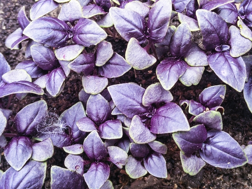 Purple ruffles Basil seedlings