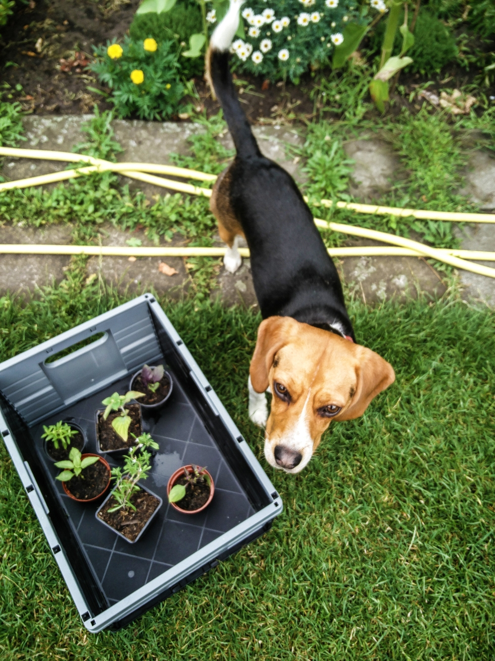 Beagle and herbs
