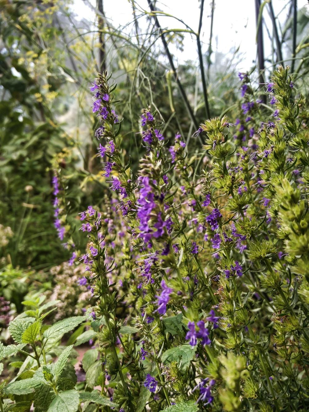 Hyssop herb flowers